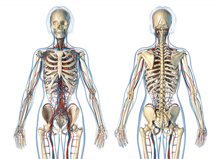 Woman anatomy cardiovascular system with skeleton, rear and front views. On white background.