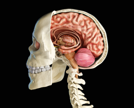Human skull mid sagittal cross-section with brain. Side view on black background. Banco de Imagens