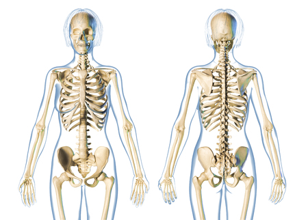 Woman skeletal system front and rear views. On white background. Imagens
