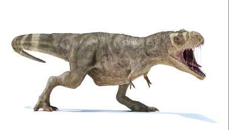 T-rex Roaring full body perspective view. with dropped shadow on white background. Stock Photo