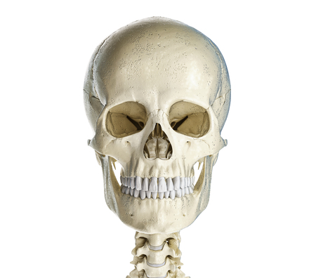 Human skull  viewed from the front. On white background.