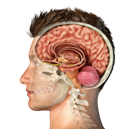 Man head with skull cross section with cut brain. Side view on white background. Banco de Imagens