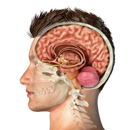 Tête d'homme avec coupe transversale du crâne avec cerveau coupé. Vue latérale sur fond blanc.