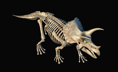 Triceratops skeleton 3d rendering perspective view from above on black background.