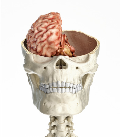 Human skull transversal cross section with brain. Front view on white background. Banco de Imagens