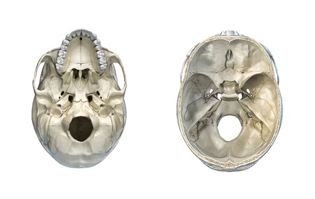 Human skull transversal cross-section and bottom view. On white background. Anatomy image.