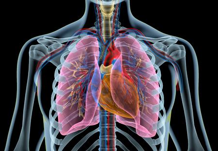 Cuore umano con vasi, polmoni, albero bronchiale e gabbia toracica tagliata. Effetto a raggi X su sfondo nero.