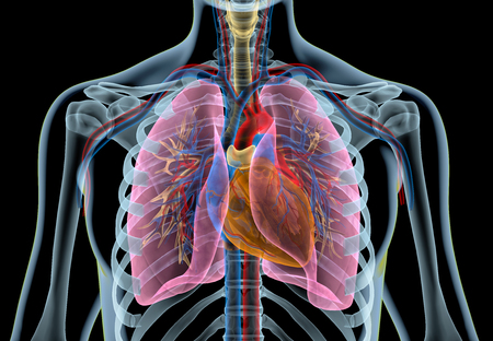 Human heart with vessels, lungs, bronchial tree and cut rib cage. X-ray effect on black background.