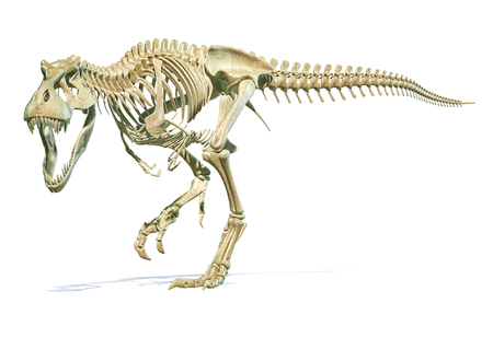 Tyrannosaurus Rex dinosaur photorealistic 3d rendering of full skeleton on white background. 版權商用圖片