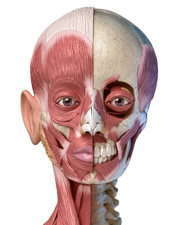 Human anatomy 3d illustration of the head muscles full on left side and partial on right side. Anterior view on white background.