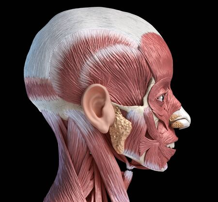 Human head anatomy 3d illustration muscular system, lateral view on black background.