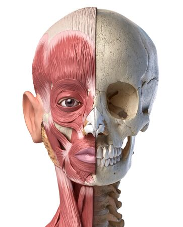 Human anatomy 3d illustration of the head muscles on left side and skull on right side. Anterior view on white background.