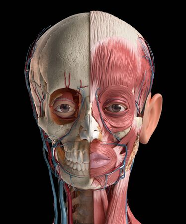 Human head anatomy 3d illustration. Showing skull, facial muscles, veins and arteries. On black background.