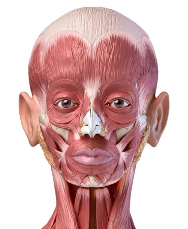 Human anatomy 3d illustration of head muscular system, front view, on white background.