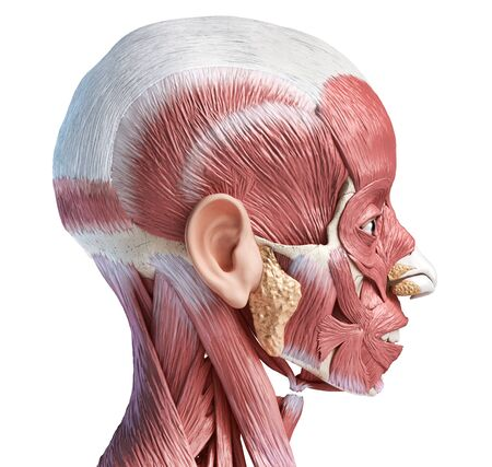 Human head anatomy 3d illustration muscular system, lateral view on white background. Stockfoto