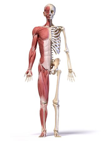 Human body, 3d illustration. Full figure male muscular and skeletal systems, front view on white background.