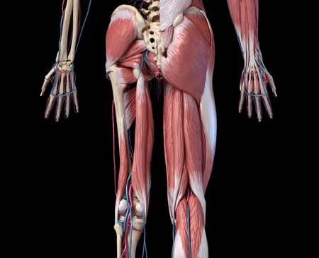 Human Anatomy,  Limbs and hip skeletal, muscular and cardiovascular systems, with sub layers muscles. back view, on black background. 3d Illustration Stockfoto