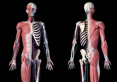 Human Anatomy 34 body skeletal, muscular and cardiovascular systems. Front and back views, on black background. 3d Illustration Stockfoto