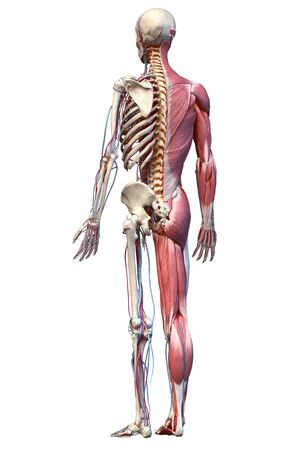 Human Anatomy full body skeletal, muscular and cardiovascular systems. Perspective view from the back, on white background. 3d Illustration Stockfoto