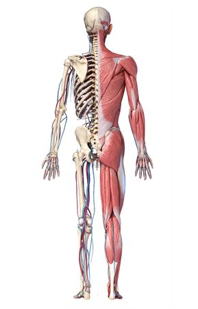 Human Anatomy full body skeletal, muscular and cardiovascular systems. Back view, on white background. 3d Illustration