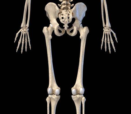 Human Anatomy, hip, limbs and hands skeletal system. Back view. On black background. 3d illustration.