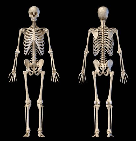 Human Anatomy full body male skeleton. Front and rear views on black background. 3d illustration.