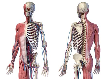 Human Anatomy 34 body skeletal, muscular and cardiovascular systems. Perspective Front and back views, on white background. 3d Illustration