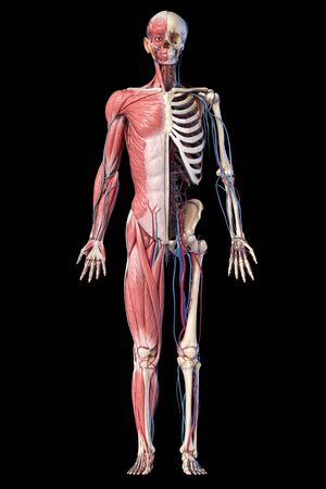 Human Anatomy full body skeletal, muscular and cardiovascular systems. Front view, on black background. 3d Illustration
