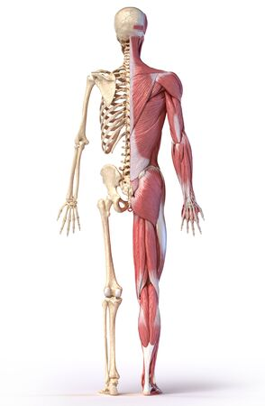 Human body, 3d illustration. Full figure male muscular and skeletal systems, rear view on white background.