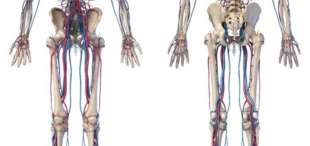 Human body anatomy. 3d illustration of Hip, legs and hands skeletal and cardiovascular systems. Viewed from the front and back. On white background.