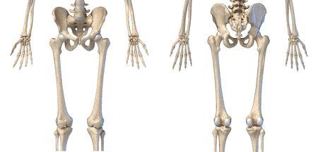 Anatomía humana, cadera, extremidades y sistema esquelético de manos. Vistas frontal y trasera. Sobre fondo blanco. Ilustración 3D.