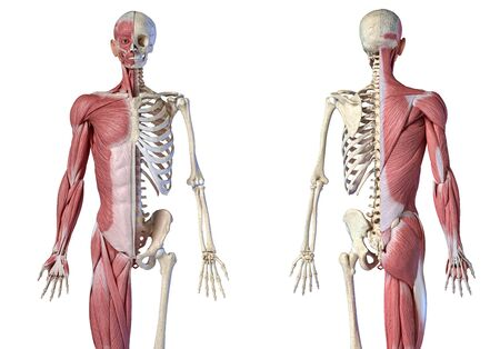 Human male anatomy, 34 figure muscular and skeletal systems, front and back views on white background. 3d anatomy illustration.