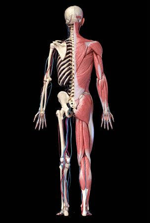 Human Anatomy full body skeletal, muscular and cardiovascular systems. Back view, on black background. 3d Illustration