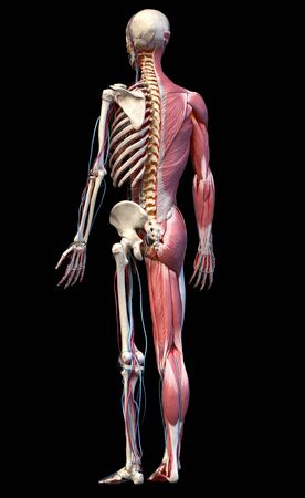 Human Anatomy full body skeletal, muscular and cardiovascular systems. Perspective view from the back, on black background. 3d Illustration Stockfoto
