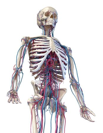 Human anatomy, 3d illustration of the skeleton with cardiovascular system. Perspective view of 34 upper part, front side. On white background.