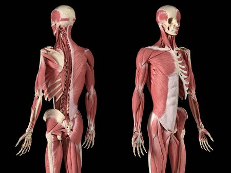 Human male anatomy, 34 figure muscular and skeletal systems, with internal muscle layers. Back and front perspective views. on black background. 3d anatomy illustration. Reklamní fotografie