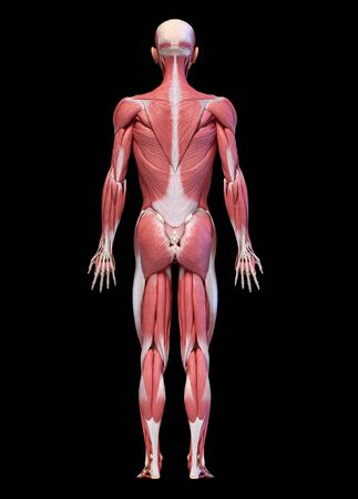 Human anatomy 3d illustration, male muscular system full body, back view on black background. Reklamní fotografie