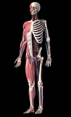 Human Anatomy full body skeletal, muscular and cardiovascular systems. Perspective view from the front, on black background. 3d Illustration