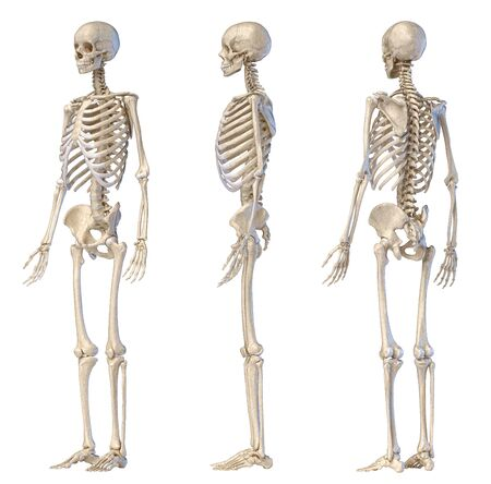 Human Anatomy full body male skeleton. Three views. Perspective Front rear and side on white background. 3d illustration. Stock Photo