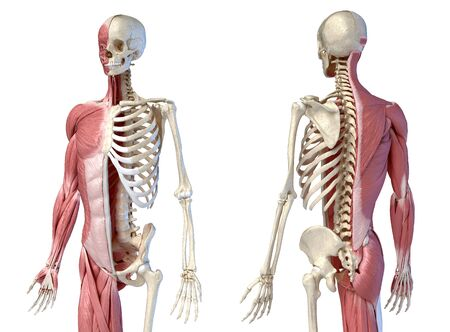 Human male anatomy, 3/4 figure muscular and skeletal systems, front and back perspective views. on white background. 3d anatomy illustration.
