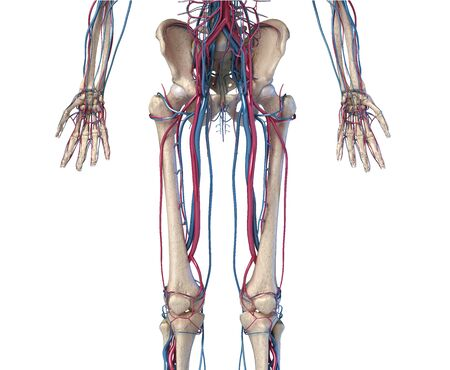 Human body anatomy. 3d illustration of Hip, legs and hands skeletal and cardiovascular systems. Viewed from the front. On white background. Stockfoto