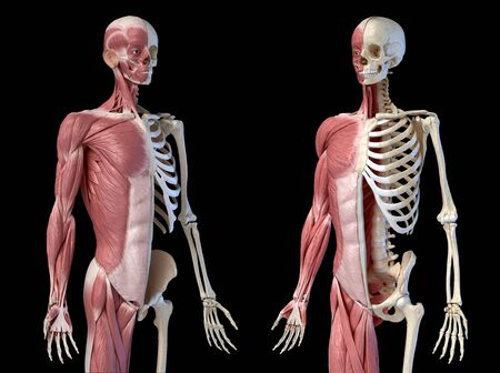 Human male anatomy, 34 figure muscular and skeletal systems, perspective front two views on black background. 3d anatomy illustration. Reklamní fotografie