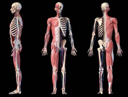 Human Anatomy full body skeletal, muscular and cardiovascular systems. Three views, side, front, back, on black background. 3d Illustration Stockfoto