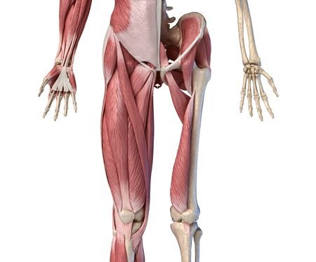 Human male anatomy, limbs and hip muscular and skeletal systems, with internal muscle layers. Front view, on white background. 3d anatomy illustration.