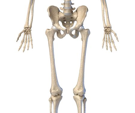 Human Anatomy, hip, limbs and hands skeletal system. Front view. On white background. 3d illustration. Stockfoto