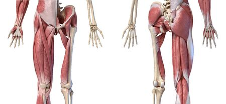 Human male anatomy, limbs and hip muscular and skeletal systems, with internal muscle layers. Front and back views, on white background. 3d anatomy illustration.