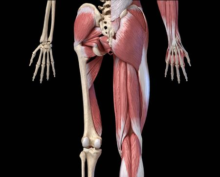 Human male anatomy, limbs and hip muscular and skeletal systems, with internal muscle layers. Back view. on black background. 3d anatomy illustration. Reklamní fotografie