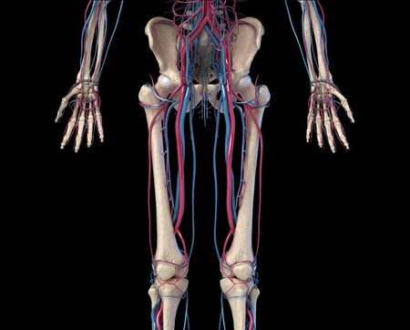 Human body anatomy. 3d illustration of Hip, legs and hands skeletal and cardiovascular systems. Viewed from the front. On black background.