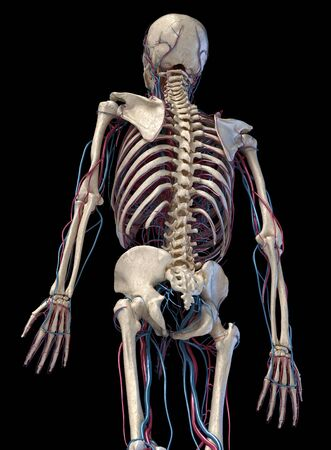Human anatomy, 3d illustration of the skeleton with cardiovascular system. Perspective view of 34 upper part, back side. On black background.