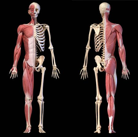 Human body, 3d illustration. Full figure male muscular and skeletal systems, front and back views on black background.